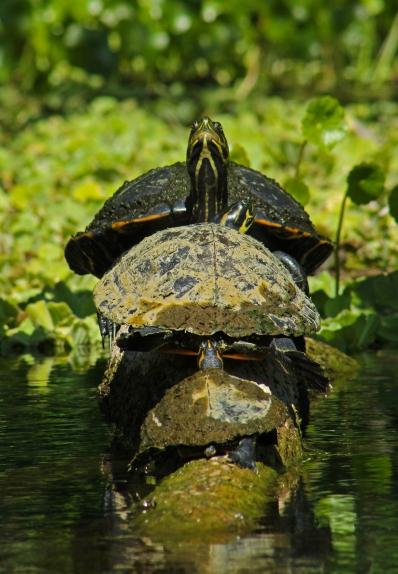 2018.03.13 Silver Springs Turtle 9