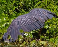 2018.03.13 Silver Springs Yellow-crowned Night Heron 3