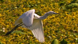 2018.03.24 Sweetwater Branch Wetlands Egret 1