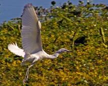 2018.03.24 Sweetwater Branch Wetlands Egret 2
