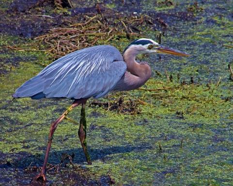 2018.04.01 Sweetwater Wetlands Great Blue Heron 1