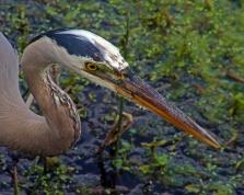 2018.04.01 Sweetwater Wetlands Great Blue Heron 2