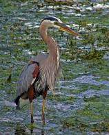 2018.04.01 Sweetwater Wetlands Great Blue Heron 3
