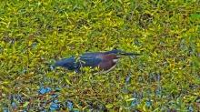 2018.04.01 Sweetwater Wetlands Green Heron 1