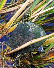 2018.04.01 Sweetwater Wetlands Turtle 1