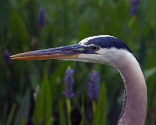 2018.04.18.Sweetwater Wetlands Great Blue 2