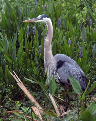 2018.04.18.Sweetwater Wetlands Great Blue 3