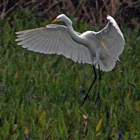 2018.04.18.Sweetwater Wetlands Great Egret 1.art