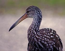 2018.04.18.Sweetwater Wetlands Limpkin 1
