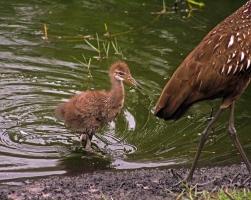 2018.04.18.Sweetwater Wetlands Limpkin 4