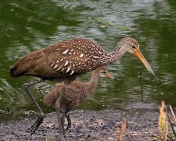 2018.04.18.Sweetwater Wetlands Limpkin 5