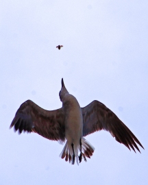 2018.06.05 Anastasia State Park Laughing Gull 4