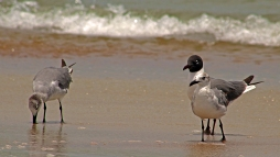 2018.06.05 Anastasia State Park Laughing Gull 5