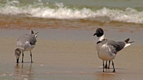 2018.06.05 Anastasia State Park Laughing Gull 5