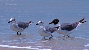 2018.06.05 Anastasia State Park Laughing Gull 6
