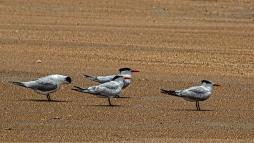 2018.06.05 Anastasia State Park Royal Terns 2