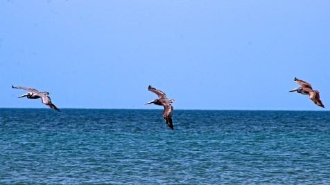 2018.06.05 River to Sea Preserve Pelican 1