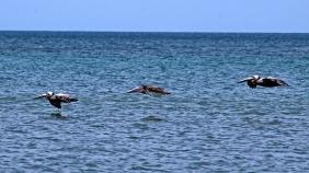 2018.06.05 River to Sea Preserve Pelican 2