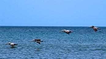 2018.06.05 River to Sea Preserve Pelican 3