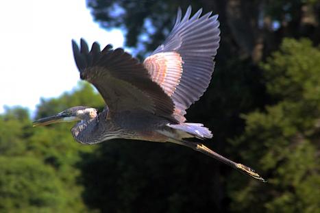 2018.06.10 La Chua Trail Great Blue Heron 2