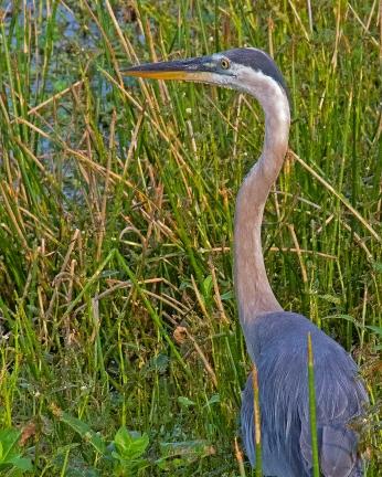 2018.06.20 Sweetwater Wetlands Great Blue Heron 1