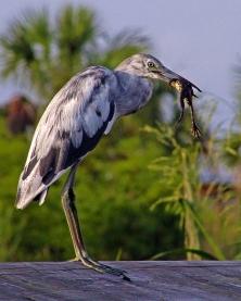 2018.06.20 Sweetwater Wetlands Juvenile Little Blue Heron 2