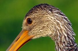 2018.06.20 Sweetwater Wetlands Limpkin 4