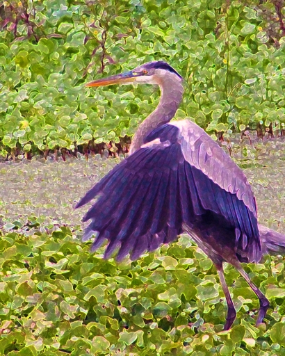 2019.12.29 La Chua Trail Great Blue Heron 3.art