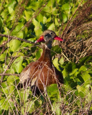 2017.10.28 La Chua Trail Black Bellied Whistling Duck 1