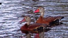 2017.12.23 The Hood Black-bellied Whistling Ducks 1