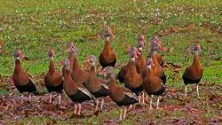 2017.12.23 The Hood Black-bellied Whistling Ducks 2