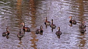 2017.12.23 The Hood Black-bellied Whistling Ducks 3
