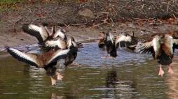 2017.12.23 The Hood Black-bellied Whistling Ducks 4
