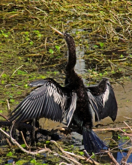 2018.01.14 Sweetwater Wetlands Anhinga 1