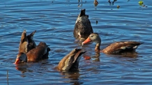 2018.01.14 Sweetwater Wetlands Black-Bellied Whistling Ducks 1