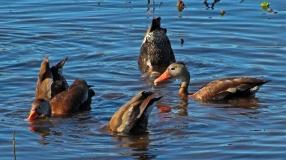 2018.01.14 Sweetwater Wetlands Black-Bellied Whistling Ducks 1