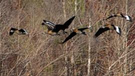 2018.01.14 Sweetwater Wetlands Black-Bellied Whistling Ducks 2