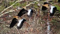 2018.01.14 Sweetwater Wetlands Black-Bellied Whistling Ducks 3.art