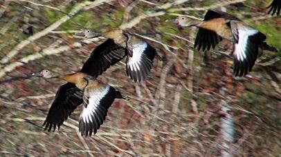 2018.01.14 Sweetwater Wetlands Black-Bellied Whistling Ducks 3
