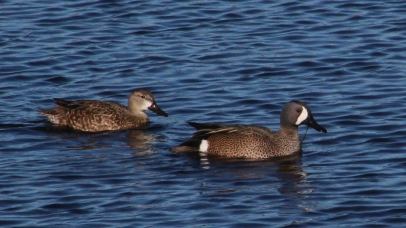 2018.01.14 Sweetwater Wetlands Blue Winged Teal 1
