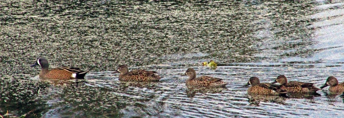 2018.01.20 Sweetwater Wetlands Blue-Winged Teals 1