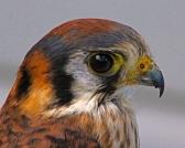 2018.02.10 Audubon Center for Birds of Prey American Kestrel 1