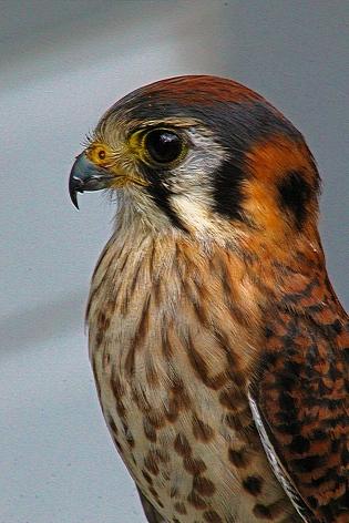 2018.02.10 Audubon Center for Birds of Prey American Kestrel 2