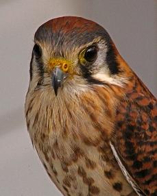2018.02.10 Audubon Center for Birds of Prey American Kestrel 3