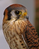 2018.02.10 Audubon Center for Birds of Prey American Kestrel 4