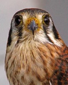 2018.02.10 Audubon Center for Birds of Prey American Kestrel 5