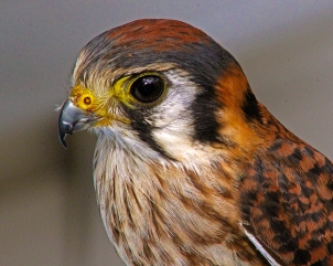 2018.02.10 Audubon Center for Birds of Prey American Kestrel 6