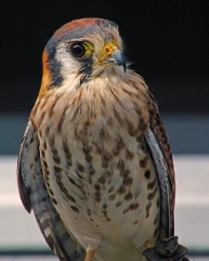 2018.02.10 Audubon Center for Birds of Prey American Kestrel 8
