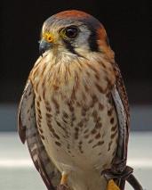 2018.02.10 Audubon Center for Birds of Prey American Kestrel 9