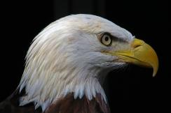 2018.02.10 Audubon Center for Birds of Prey Bald Eagle 1